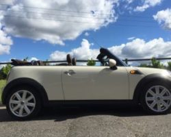 Olivia Chose this 2009 MINI Cooper Convertible In Pepper White with Chocolate Brown Hood & BIG SPEC